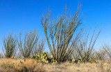 Ocotillo plants in full sunlight on the hills of Buenos Aires NWR