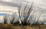 Ocotillo plants under overcast skies on the hills of Buenos Aires NWR