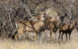 Mule deer in the short brush in Buenos Aires NWR