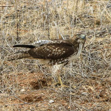 A hawk on the ground in Buenos Aires NWR