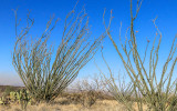 Towering ocotillo plants in Buenos Aires NWR