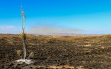 A blistered yucca plant with the prescribed burn smoking in the distance in Buenos Aires NWR