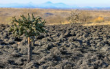 A burned cholla cactus rises above the scorched earth in Buenos Aires NWR