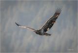 Immature eagle  n flight