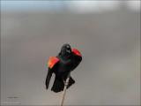 Red Wing Blackbird display