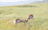 Antelope sparring, Montana