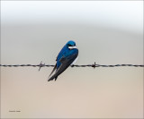 Tree Swallow, Eastern WA