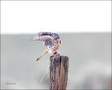 Kestrel with its prey
