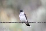 Eastern Kingbird, Eastern, WA