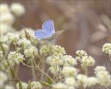 Blue Copper Butterfly, Eastern, WA