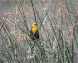 Yellow-headed Blackbird, Eastern, WA