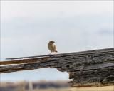 Grasshopper Sparrow, Eastern, WA