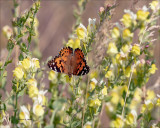 Painted Lady butterfly on Toadflax, Eastern, WA