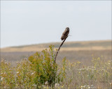 Short Eared Owl, Eastern, WA.