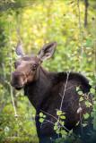 Moose, Turnbull Wildlife Refuge