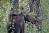 Cow Moose, Turnbull Wildlife Refuge