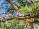 Common Nighthawk, Eastern, WA.
