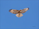 Red Tail Hawk, Fly By, Eastern, WA