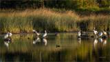 White Pelicans, Eastern WA.