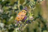 Painted Lady on Thistle, Eastern, WA.