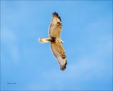 Rough Legged Hawk, I have my eye on you, Easter, WA