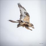 Rough Legged Hawk, Eastern, WA