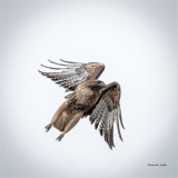 Red Tail Hawk, Moving out, Eastern, WA