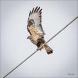 Rough Legged Hawk, Stretching, Eastern, WA