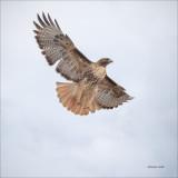 Red Tail Take Flight, Eastern, WA.