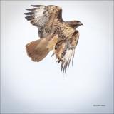 Red Tail Hawk, Eastern, WA.