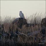 Snow Owl, Douglas Co., WA
