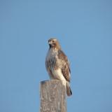 Red tail, Douglas County, WA.