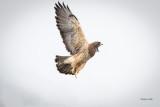 Swainson's hawk, Eastern, WA