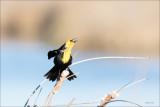 Yellow headed blackbird, Eastern, WA