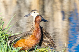 Cinnamon Teal duck couple, Eastern, WA