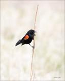 Red Winged Blackbird, Estern, WA
