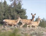 Three mule deer does, Eastern, WA