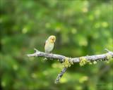 American Goldfinch female, Eastern, WA