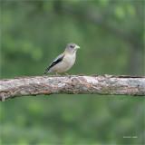 Female Evening Grosbeak, Eastern, WA