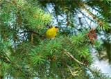 American Gold Finch, Eastern, WA