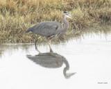 Great Blue Heron, Western, WA