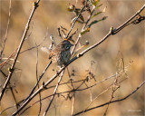 Song Sparrow, Western, WA