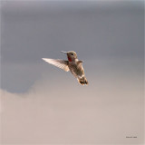 Anna's Hummingbird, Western, WA