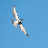 Belted Kingfisher, Whatcom, Co