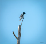 Belted Kingfisher,  Whatcom, Co.