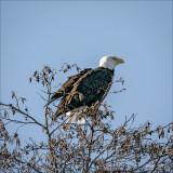 Bald Eagle, Whatcom, Co.