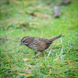 Song Sparrow, Whatcom, Co.