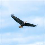 Bald Eagle, Skagit Valley