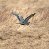 Great Blue Heron in Flight, Skagit, Valley