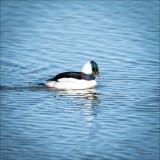 Bufflehead Duck, Skagit Valley